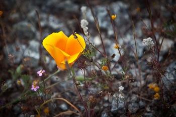 Poppy at Jasper Ridge Biological Preserve