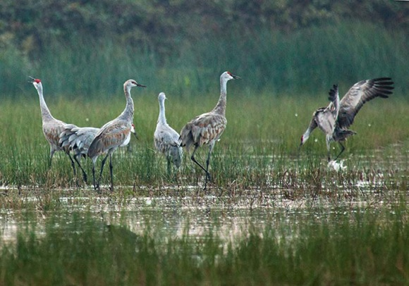Sandhill cranes by Susan Carnahan