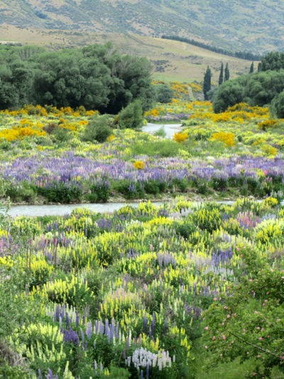 lupine in New Zealand (c) 2011 by Frances Freyberg