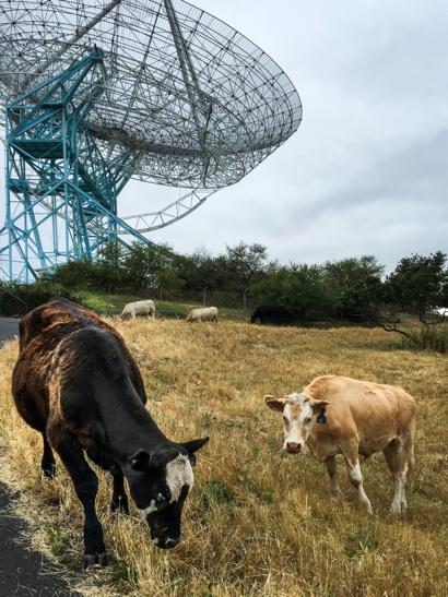 cattle near Big Dish_Irene
