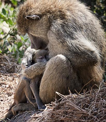merrie-asimow_baboons_vert