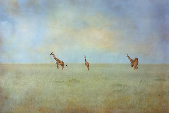 merrie-asimow_giraffes