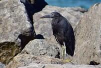 Fiji black bird