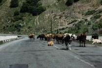 Krowy drogowe