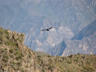Kondory w Kanionie Colca