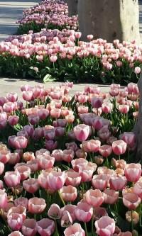 tulips istanbul resized