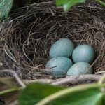 nest with blue eggs to symbolize family constellation facilitator training