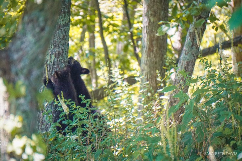 Bear Viewing in Shenandoah National Park