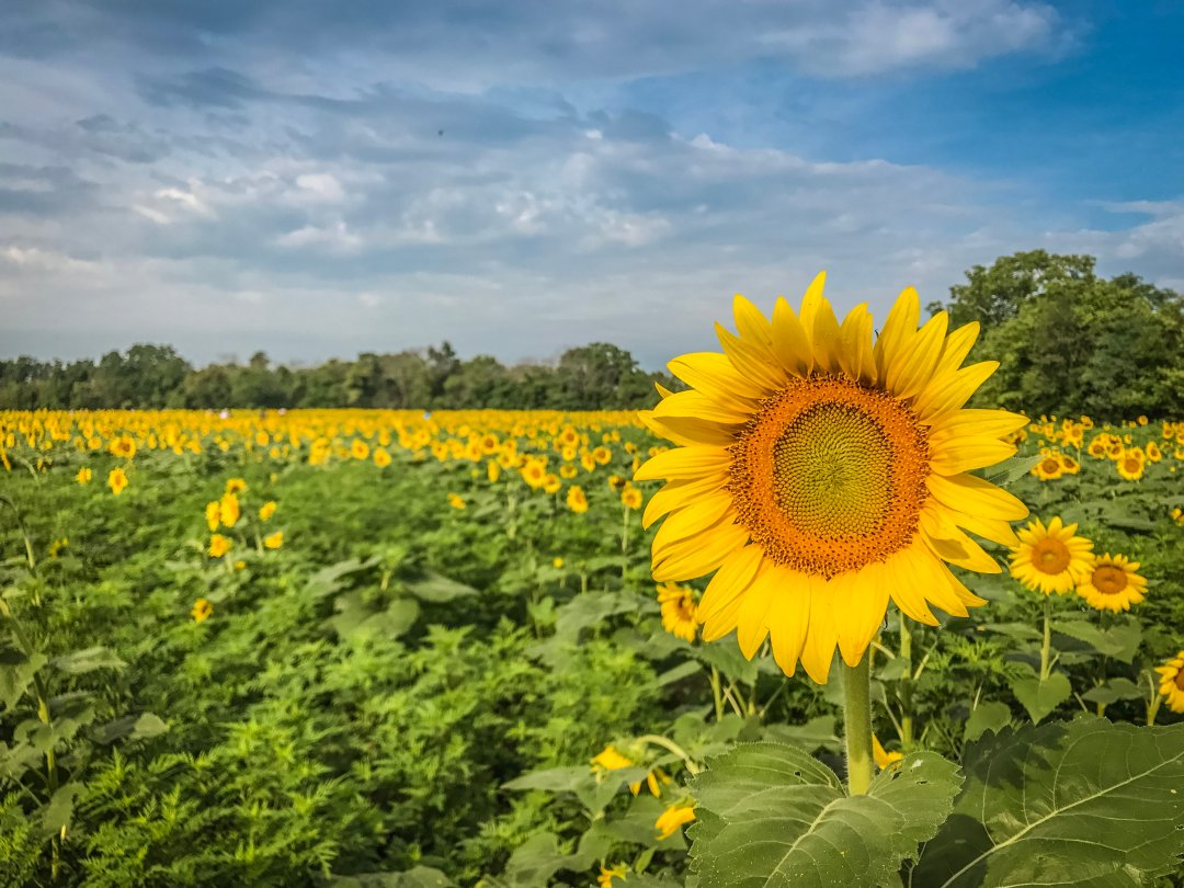 McKee-Beshers sunflower fields maryland