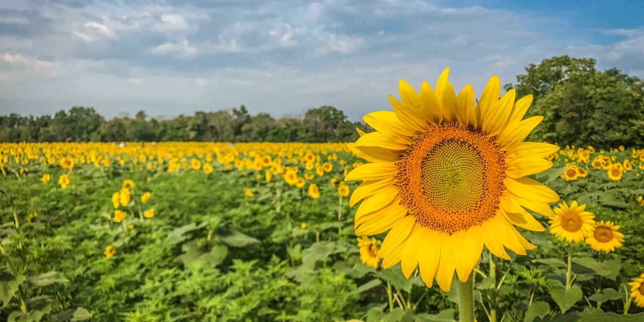 Viewing the Sunflower Fields at McKee-Beshers Wildlife Management Area