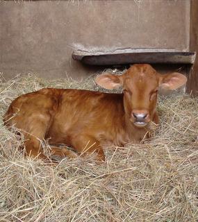 calf-002