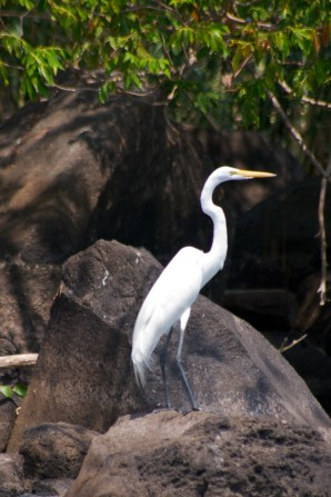 GREAT WHITE HERON: The Great White Heron flies slowly but powerfully: with just two wingbeats per second their cruising speed is around 25 miles an hour. Though it mainly hunts while wading, the Great Egret occasionally swims to capture prey or hovers (somewhat laboriously) over the water and dips for fish.