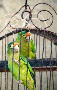 CHOCOYO PARROTS: The Chocoyo Parrot (Half-Moon Conure) is a common household pet in Nicaragua, just as common as a cat or dog in North America. They enjoy mimicking a variety of sounds and will bob their heads and dilate their eyes when they are happy to see you.