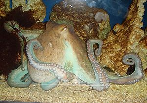 An octopus in a zoo
