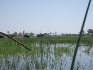 Elephants in the Okavango Delta seen from a ma...