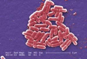 Escherichia coli bacteria. (Credit: Janice Haney Carr, CDC)
