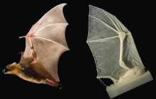 Brown researchers build robotic bat wing