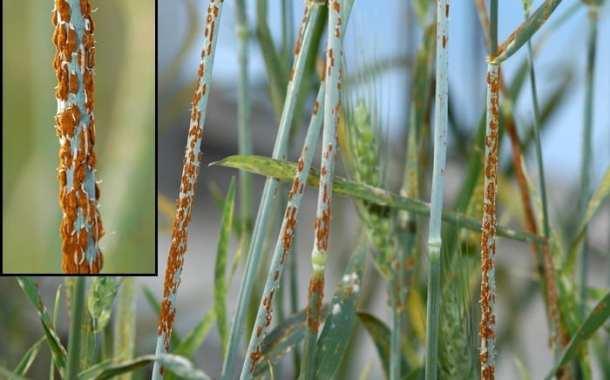 Breakthrough in wheat disease