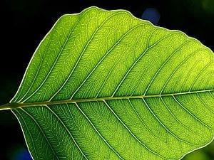 300px-Leaf_1_web