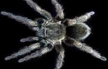 Within tarantula venom, new hope for safe and novel painkillers found
