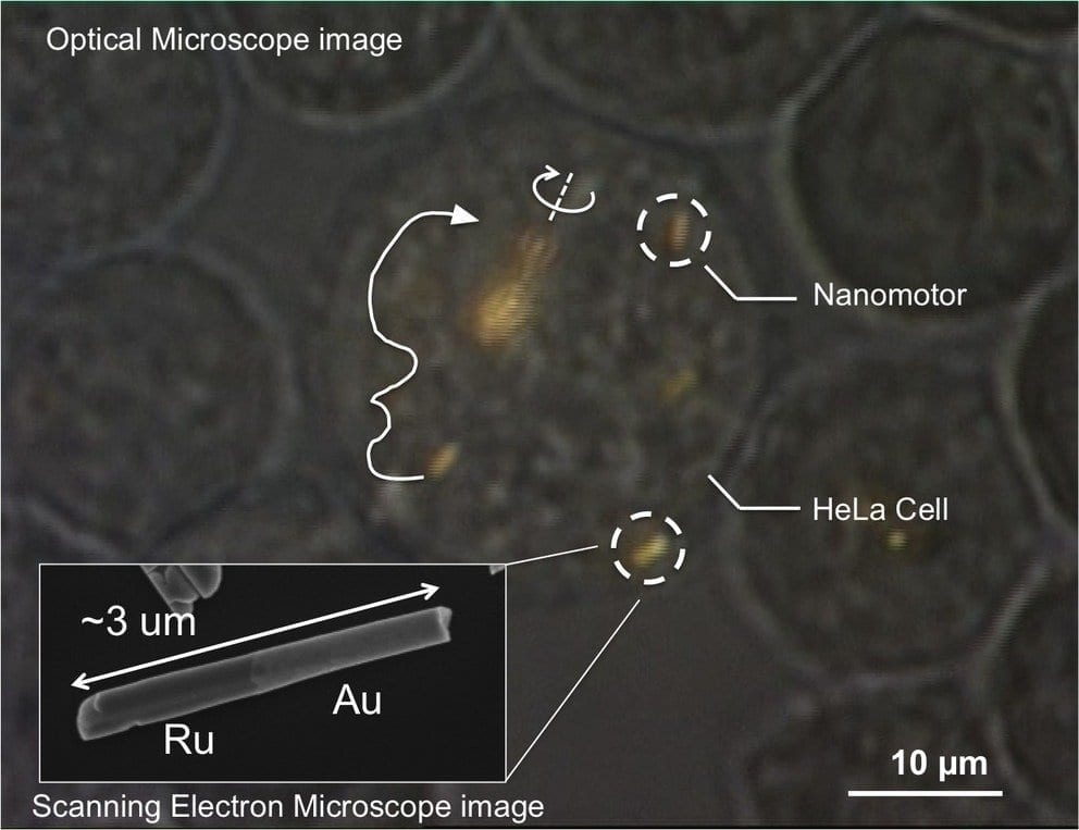 Optical microscope image of a HeLa cell containing several gold-ruthenium nanomotors. Arrows indicate the trajectories of the nanomotors, and the solid white line shows propulsion. Near the center of the image, a spindle of several nanomotors is spinning. Inset: Electron micrograph of a gold-ruthenium nanomotor. The scattering of sound waves from the two ends results in propulsion. Image: Mallouk Lab/ Penn State