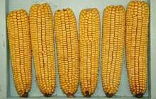 Perennial Corn Crops? It Could Happen with New Plant-Breeding Tool