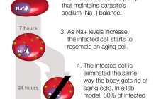 Promising compound rapidly eliminates malaria parasite