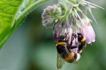 Bumblebees are important pollinators. Image: Dave Goulson