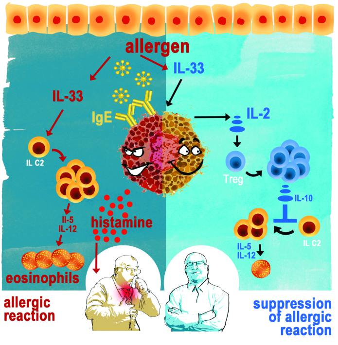 """Scientists from Switzerland, Japan and the US discovered that mast cells are not only """"bad guys"""" that initiate the allergic reaction, but also have a """"good side"""": They lead to the production of large amounts of T-regulatory (Treg) cells, that suppress the allergic inflammation. This could be the basis for a new way to handle allergies. © by Emanuele Fucecchi"""
