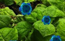 Simple shell of plant virus sparks immune response against cancer