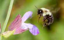 Bee Flower Choices Altered by Exposure to Pesticides