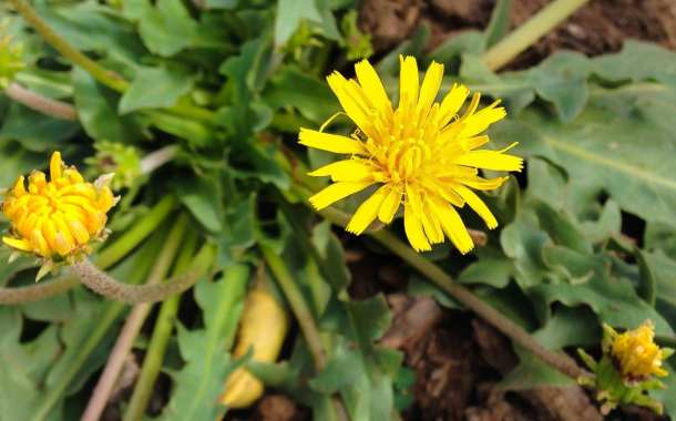 Dandelions could be a sustainable source of rubber