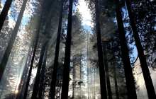 Pine tree's chemical production could serve as an environmentally friendly alternative to a range of fossil fuel based products worth billions