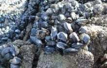 Microplastics are adversely affecting mussels – potentially having a devastating impact on ocean ecosystems