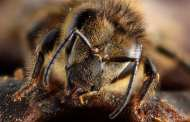 Bees demonstrate new possibilities for communication between humans and other species