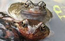 Bacteria living on the skin of frogs could save them from a deadly virus
