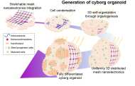 Cyborg organoids: Stretchable, integrated mesh nanoelectronics grow with developing cells