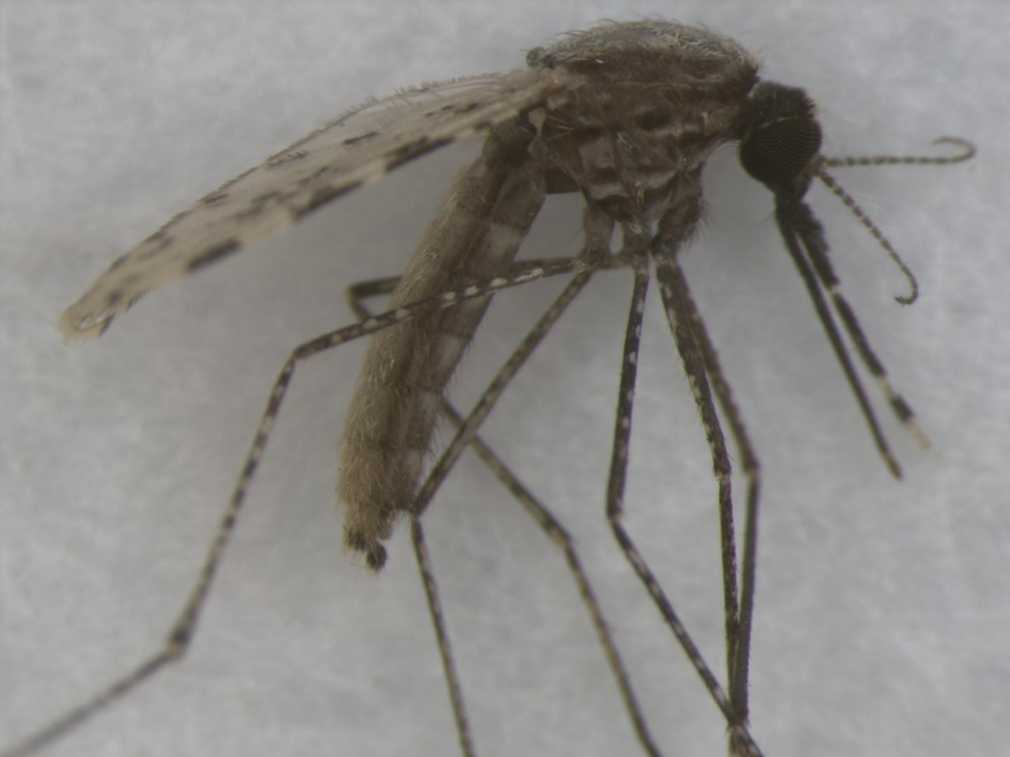 Representative specimen image of Anopheles stephensi from Mosquito Image Database. Picture shows a mosquito stored by freezing at -80C. CREDIT Couret, J. et al. 2020 (CC-BY 2.0)