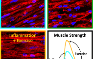 Chronic inflammation can be affected by muscle exercise