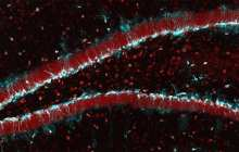Could reactivating aging stem cells in the brain really impact memory function