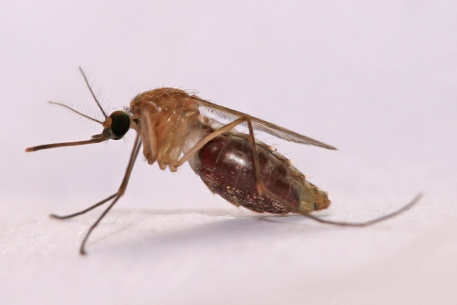 An Anopheles gambiae mosquito has a blood meal as it feeds on a human host.