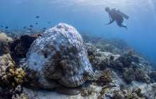 Could probiotic approaches protect corals against heat stress?
