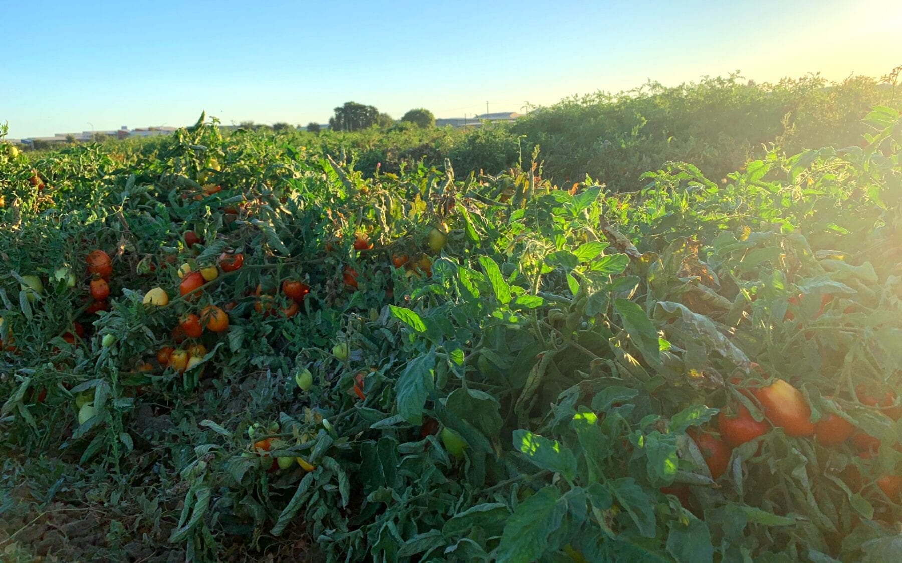 Tomatoes grown in Davis, CA and sampled to obtain genetic material for this research. (Siobhan Brady/UC Davis)