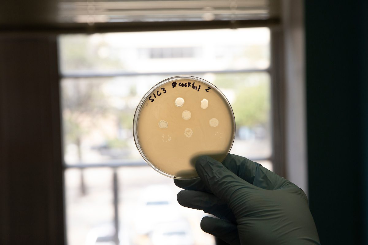 A plate growing bacteria shows clearings where a single drop of phages attacked and killed bacteria/ cells.