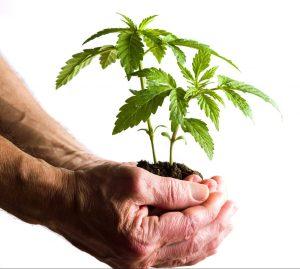 Hand holding marijuana leafs with root