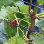 L'attache de vigne biodégradable : la durée de vie de l'attache correspond à la durée dont a besoin la plante pour bien grandir.