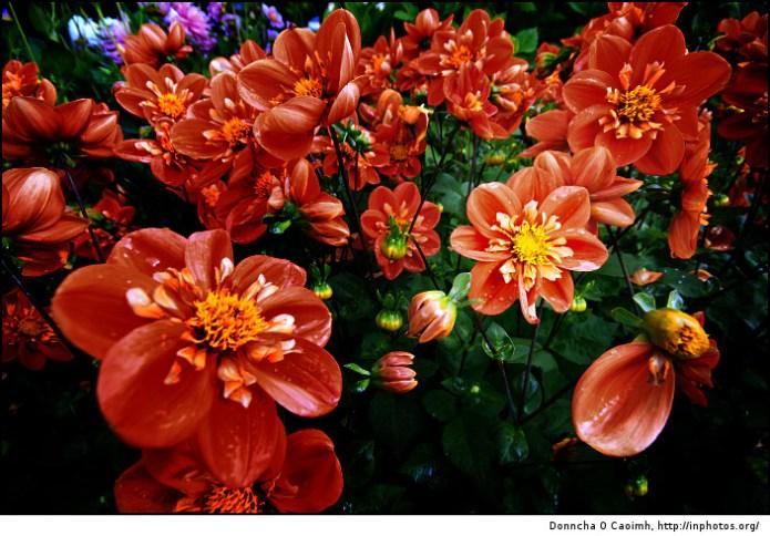 Crimson Red Flowers