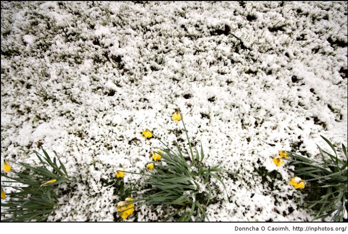 Yellow Daffodils Lost in Snow