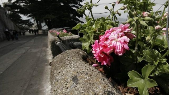 Alcatraz Flowers