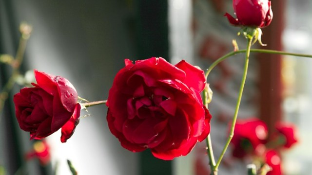 Red Blarney Roses